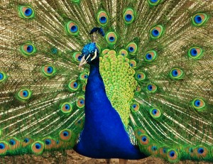 2012, the year of the peacock