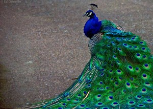 peacock eats poisonous berries and turns them into beauty