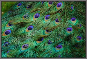 peacock feathers of beauty, happiness, fulfillment, satisfaction, health and wealth