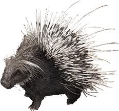 porcupine personality