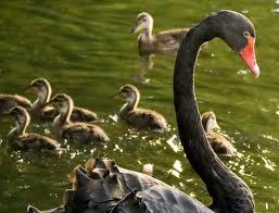 swan and ducklings in the ugly duckling fairy tale