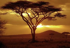 acacia tree or shitta tree etz ha shitta Heaven on Earth energy bundle