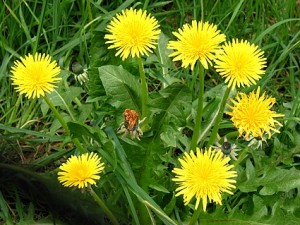 get rid of dandelion: wipe the slate clean