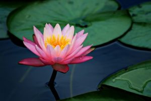 the sacred lotus is untouched by the rain, by suffering, by wretchedness and misery