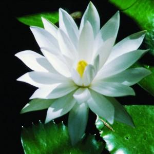 White-Lotus-2