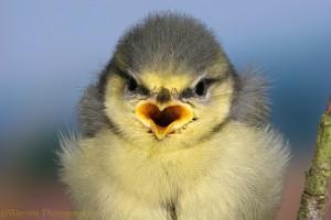 Blue Tit (Parus caeruleus) fledgling