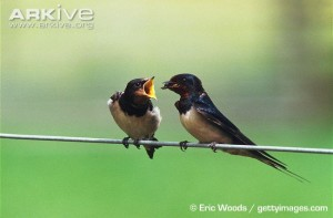 Barn-swallow-fledgling-being-fed-by-adult