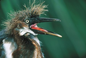 Tricolored Heron fledgling