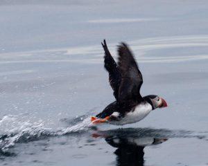 puffin-take-off