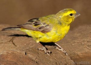 canary-finch