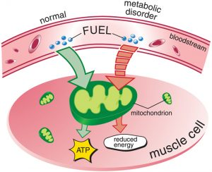 causes-metabolics_muscle-cell