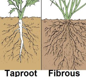 taproot-v-fibrous-root