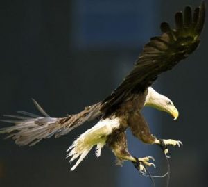 eagle breaks for freedom