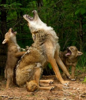 coyotes and predatory genes