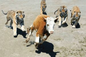 tigers chasing cow...