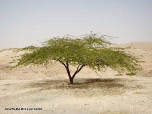 acacia shitta tree