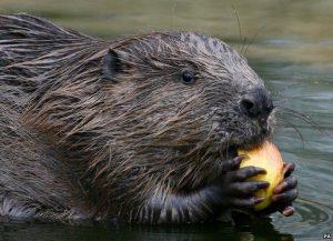 i am like a beaver