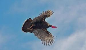 Wild Turkey Flight_large