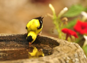 american_goldfinch_birdbath-mind
