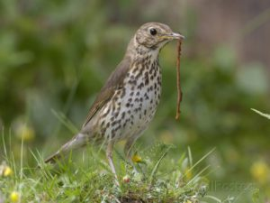 dave-watts-song-thrush-turdus-philomelos-eating-a-worm-uk