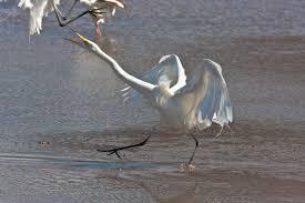 fighting-birds