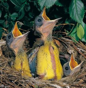 fledglings