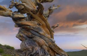 foxtail-pine-tree-twisted-trunk-of-an-tim-fitzharris