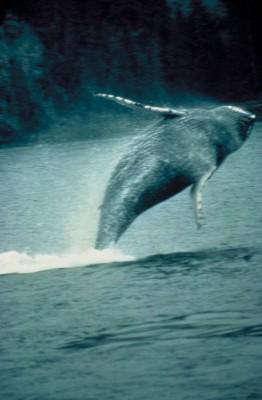 humpbackwhale-fs