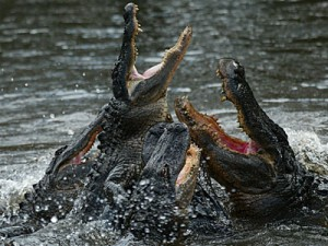 feeding frenzy of alligators