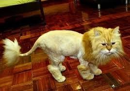 lion-haircut
