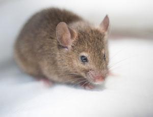 choosing mice over people