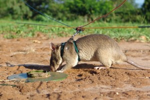mine-hunting-with-rats