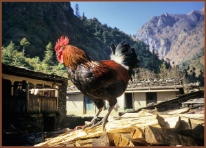 the rooster and the dog tale