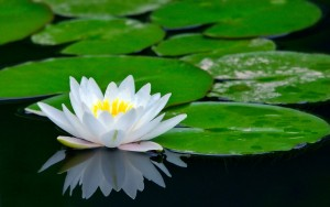 the white lotus, the symbol of being unphased