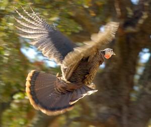 wild-turkey-flying